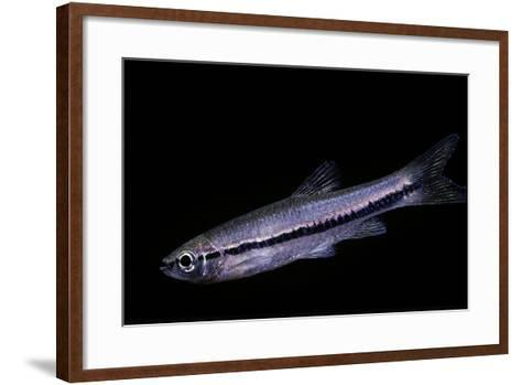Rasbora Einthovenii (Brilliant Rasbora)-Paul Starosta-Framed Art Print