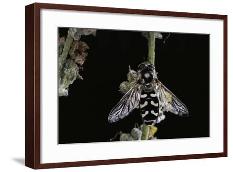 Scaeva Pyrastri (Hoverfly)-Paul Starosta-Framed Art Print