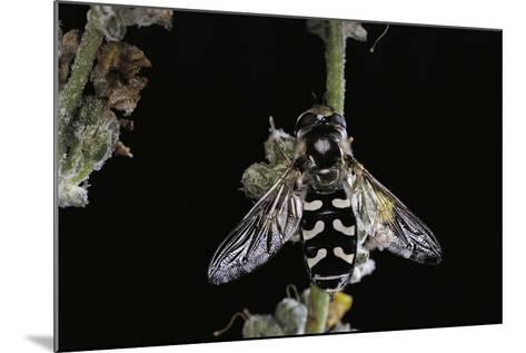 Scaeva Pyrastri (Hoverfly)-Paul Starosta-Mounted Photographic Print