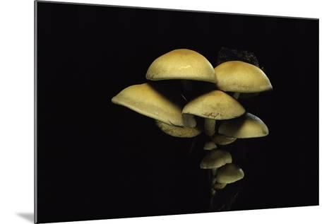 Hypholoma Fasciculare (Sulphur Tuft, Clustered Woodlover)-Paul Starosta-Mounted Photographic Print
