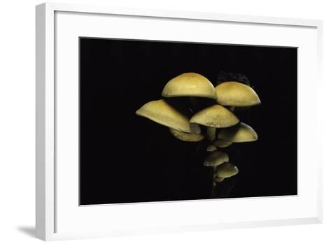 Hypholoma Fasciculare (Sulphur Tuft, Clustered Woodlover)-Paul Starosta-Framed Art Print