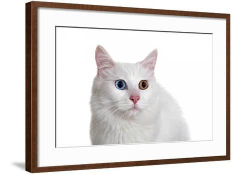 Turkish Van Cat with Different Color Eyes-Fabio Petroni-Framed Art Print