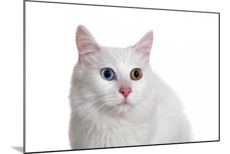 Turkish Van Cat with Different Color Eyes-Fabio Petroni-Mounted Photographic Print