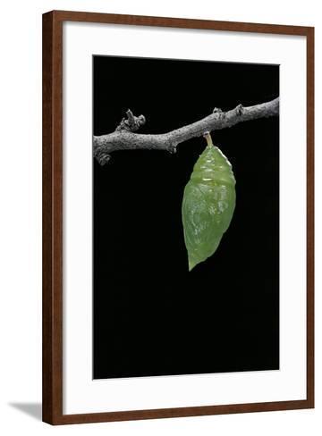 Morpho Peleides (Blue Morpho) - Caterpillar Pupating-Paul Starosta-Framed Art Print