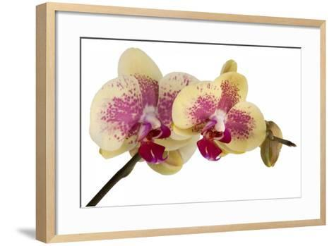 Phalaenopsis Ibrid-Fabio Petroni-Framed Art Print