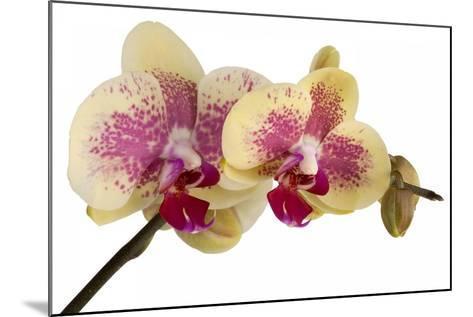 Phalaenopsis Ibrid-Fabio Petroni-Mounted Photographic Print