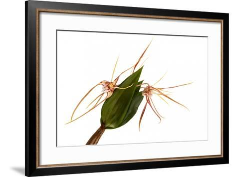 Dendrobium Tetragonum-Fabio Petroni-Framed Art Print