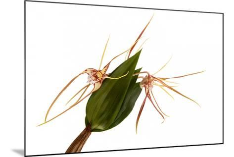 Dendrobium Tetragonum-Fabio Petroni-Mounted Photographic Print
