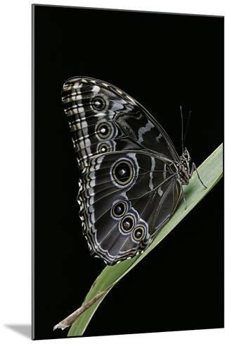 Morpho Peleides (Blue Morpho)-Paul Starosta-Mounted Photographic Print