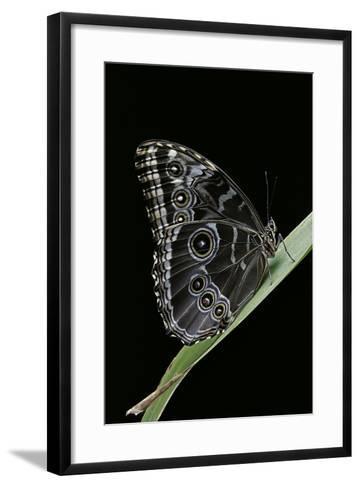 Morpho Peleides (Blue Morpho)-Paul Starosta-Framed Art Print