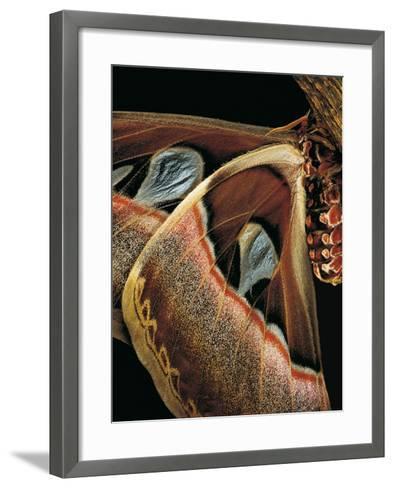 Attacus Atlas (Atlas Moth) - Wings Detail-Paul Starosta-Framed Art Print