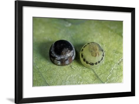 Morpho Peleides (Blue Morpho) - Old and Young Eggs-Paul Starosta-Framed Art Print