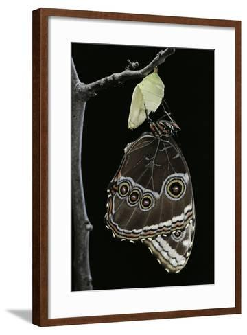 Morpho Peleides (Blue Morpho) - Emerging from Pupa-Paul Starosta-Framed Art Print