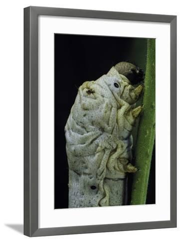 Bombyx Mori (Common Silkmoth) - Larva or Silkworm Detail-Paul Starosta-Framed Art Print