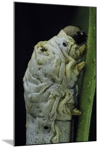 Bombyx Mori (Common Silkmoth) - Larva or Silkworm Detail-Paul Starosta-Mounted Photographic Print
