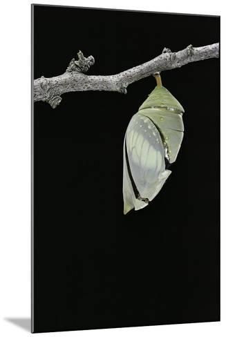 Morpho Peleides (Blue Morpho) - Emerging from Pupa-Paul Starosta-Mounted Photographic Print