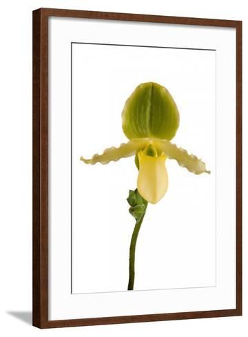 Paphiopedilum Pinocchio F.Ma Alba-Fabio Petroni-Framed Art Print