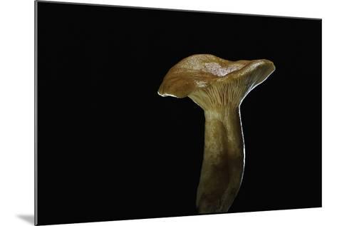 Lactarius Porninsis (Larch Milkcap)-Paul Starosta-Mounted Photographic Print