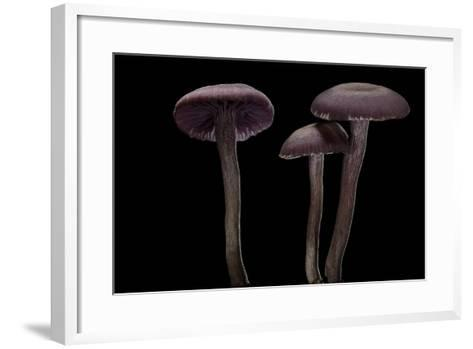 Laccaria Amethystina (Amethyst Deceiver)-Paul Starosta-Framed Art Print