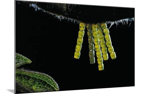 Araschnia Levana (Map Butterfly) - Eggs, One on Top of the Other, under Stinging Nettle Leaf-Paul Starosta-Mounted Photographic Print