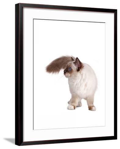 Sacred Cat of Burma-Fabio Petroni-Framed Art Print