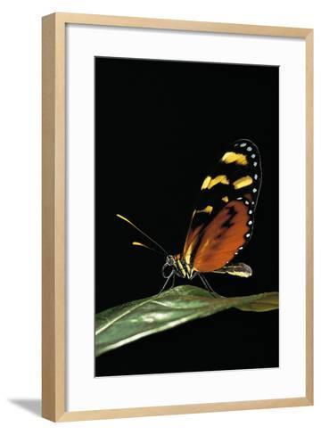 Mechanitis Polymnia (Orange-Spotted Tiger Clearwing)-Paul Starosta-Framed Art Print
