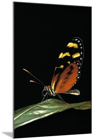 Mechanitis Polymnia (Orange-Spotted Tiger Clearwing)-Paul Starosta-Mounted Photographic Print