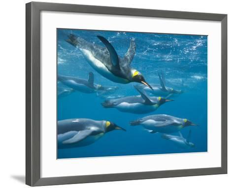 King Penguins Swimming Underwater-DLILLC-Framed Art Print