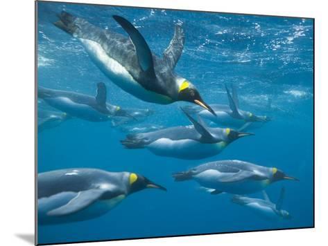 King Penguins Swimming Underwater-DLILLC-Mounted Photographic Print