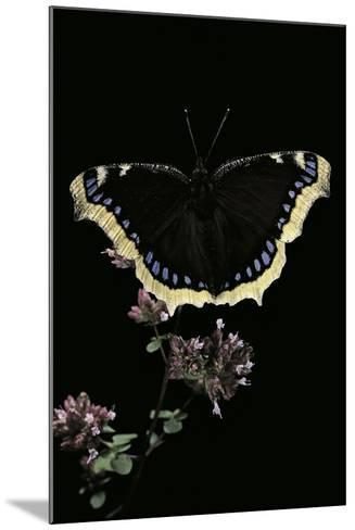 Nymphalis Antiopa (Mourning Cloak Butterfly, Camberwell Beauty)-Paul Starosta-Mounted Photographic Print
