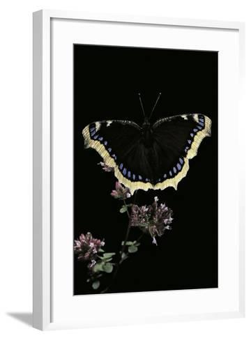 Nymphalis Antiopa (Mourning Cloak Butterfly, Camberwell Beauty)-Paul Starosta-Framed Art Print