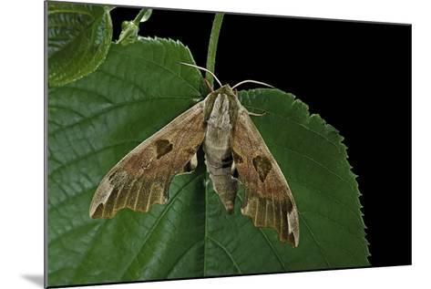 Mimas Tiliae (Lime Hawk Moth)-Paul Starosta-Mounted Photographic Print