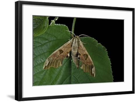 Mimas Tiliae (Lime Hawk Moth)-Paul Starosta-Framed Art Print