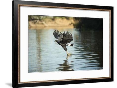 Great Black Hawk-Joe McDonald-Framed Art Print