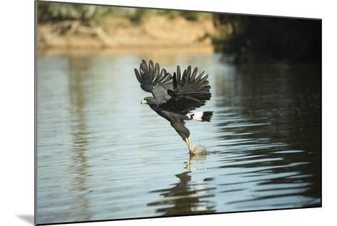 Great Black Hawk-Joe McDonald-Mounted Photographic Print