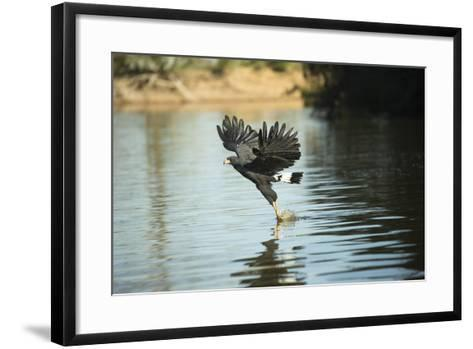 Great Black Hawk-Joe McDonald-Framed Art Print