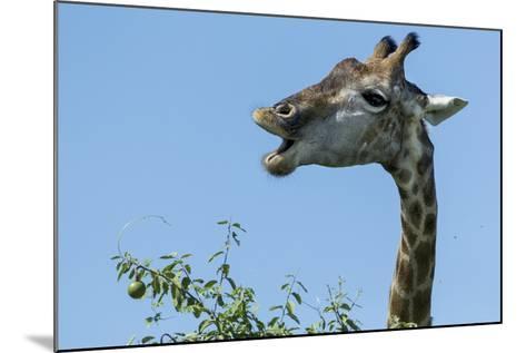 Giraffe Feeding, Chobe National Park, Botswana-Paul Souders-Mounted Photographic Print