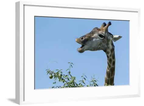 Giraffe Feeding, Chobe National Park, Botswana-Paul Souders-Framed Art Print