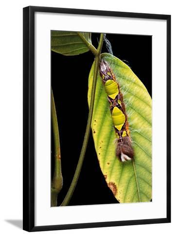 Morpho Menelaus (Menelaus Blue Morpho) - Caterpillar-Paul Starosta-Framed Art Print