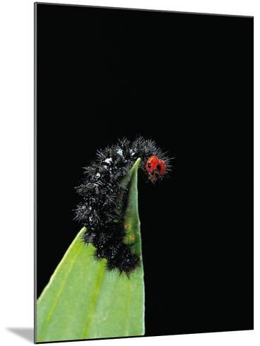 Melitaea Cinxia (Glanville Fritillary) - Black Spiny Caterpillar-Paul Starosta-Mounted Photographic Print