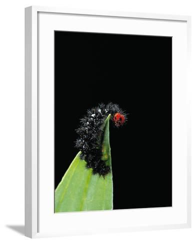 Melitaea Cinxia (Glanville Fritillary) - Black Spiny Caterpillar-Paul Starosta-Framed Art Print