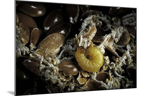 Fungus Moth or Tineid Moth Caterpillar-Paul Starosta-Mounted Photographic Print