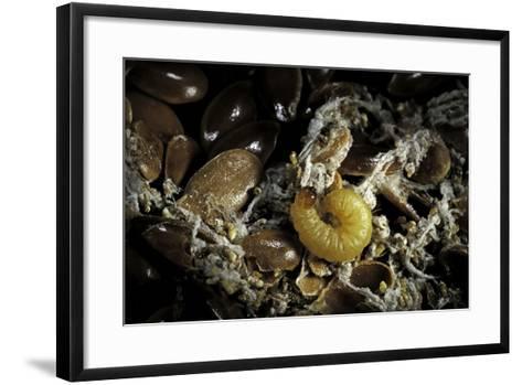 Fungus Moth or Tineid Moth Caterpillar-Paul Starosta-Framed Art Print