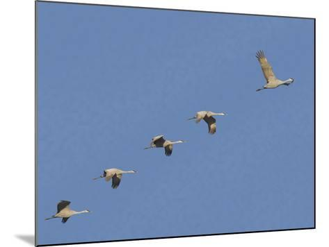 Sandhill Cranes Flying in Formation-DLILLC-Mounted Photographic Print