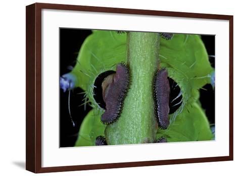 Saturnia Pyri (Giant Peacock Moth, Great Peacock Moth, Large Emperor Moth) - Caterpillar Prolegs-Paul Starosta-Framed Art Print