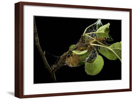 Saturnia Pyri (Giant Peacock Moth, Great Peacock Moth, Large Emperor Moth) - Caterpillar Spinning C-Paul Starosta-Framed Art Print
