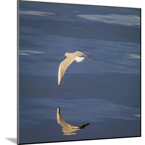 Seagull Flying over the Sea-Arctic-Images-Mounted Photographic Print