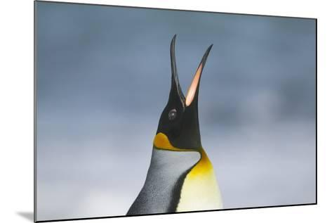 King Penguin Calling Out-DLILLC-Mounted Photographic Print