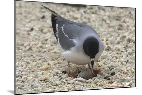 Gull Protecting Egg-DLILLC-Mounted Photographic Print