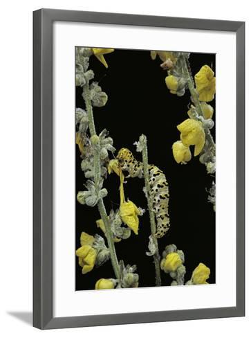 Cucullia Verbasci (Mullein Moth) - Caterpillar Feeding on Mullein-Paul Starosta-Framed Art Print